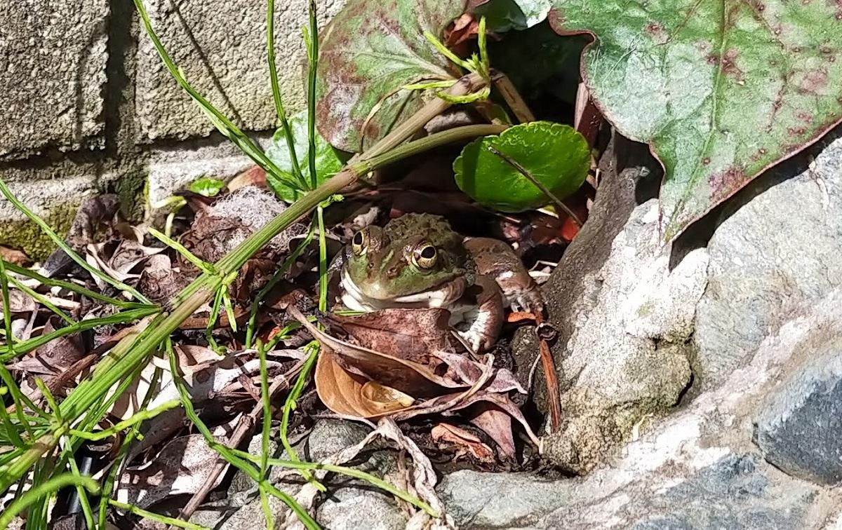 春先のトウキョウダルマガエル