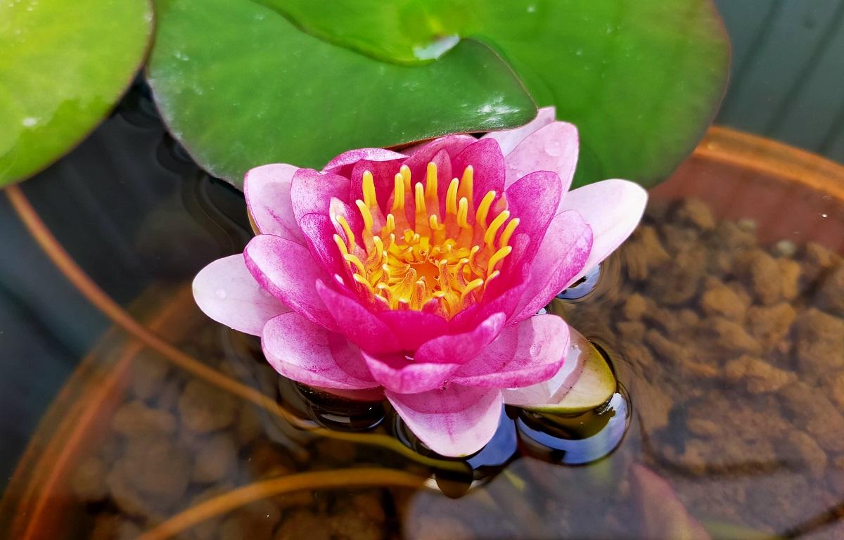 メダカ用睡蓮鉢に咲く睡蓮の花