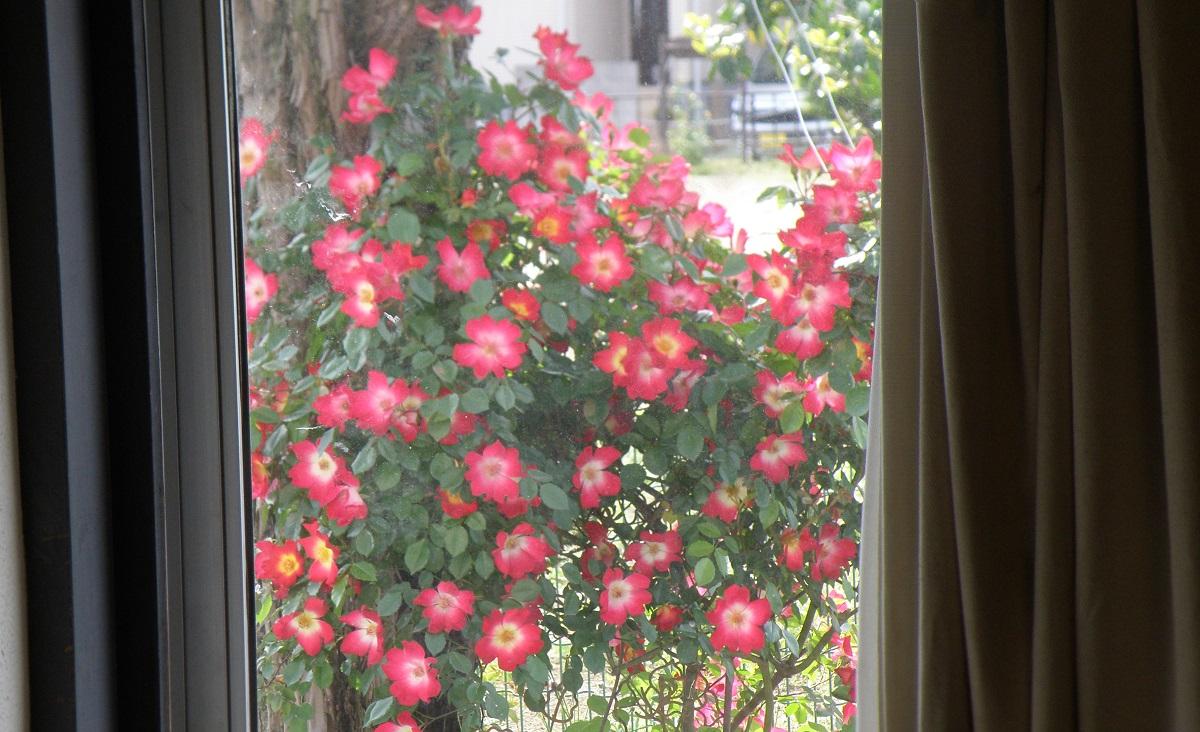 家の中から見える赤いバラ