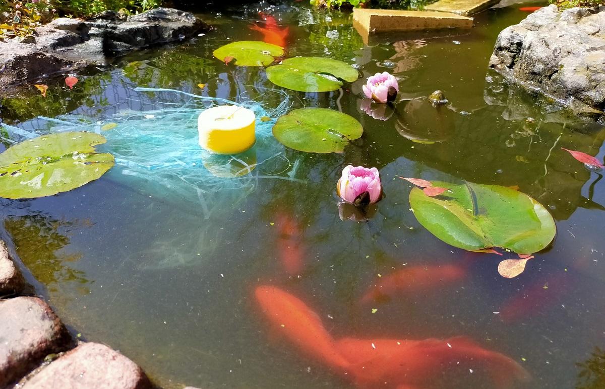 睡蓮の花とぐるぐる金魚