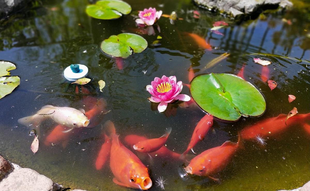 餌を要求する金魚達