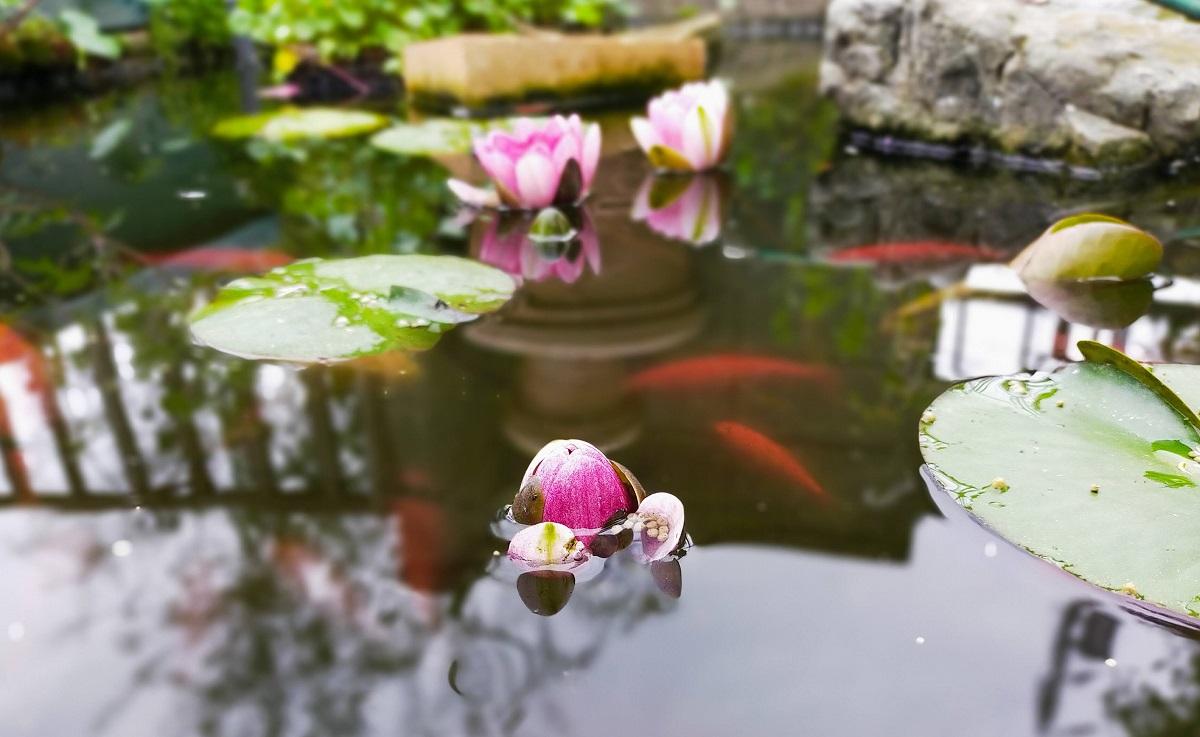 池の睡蓮の花