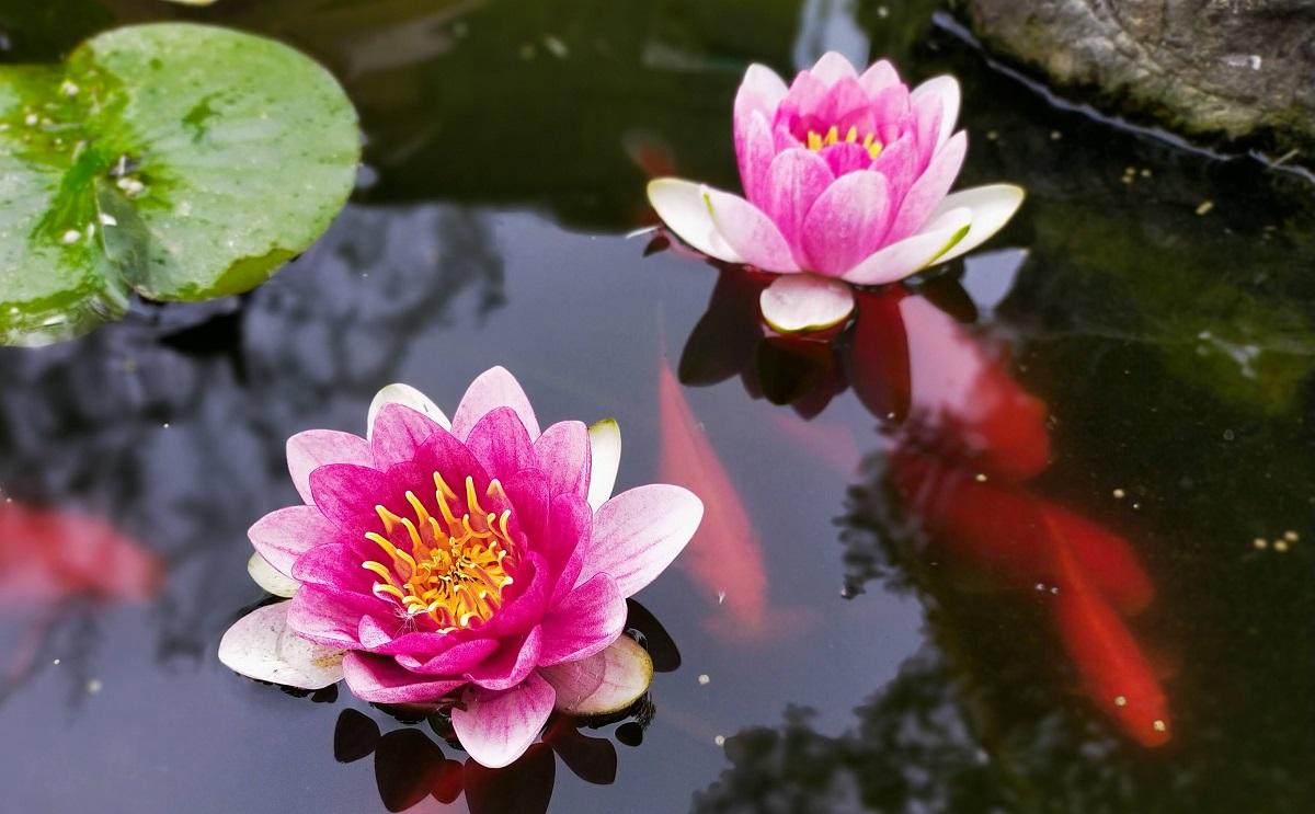 池の睡蓮の花と金魚