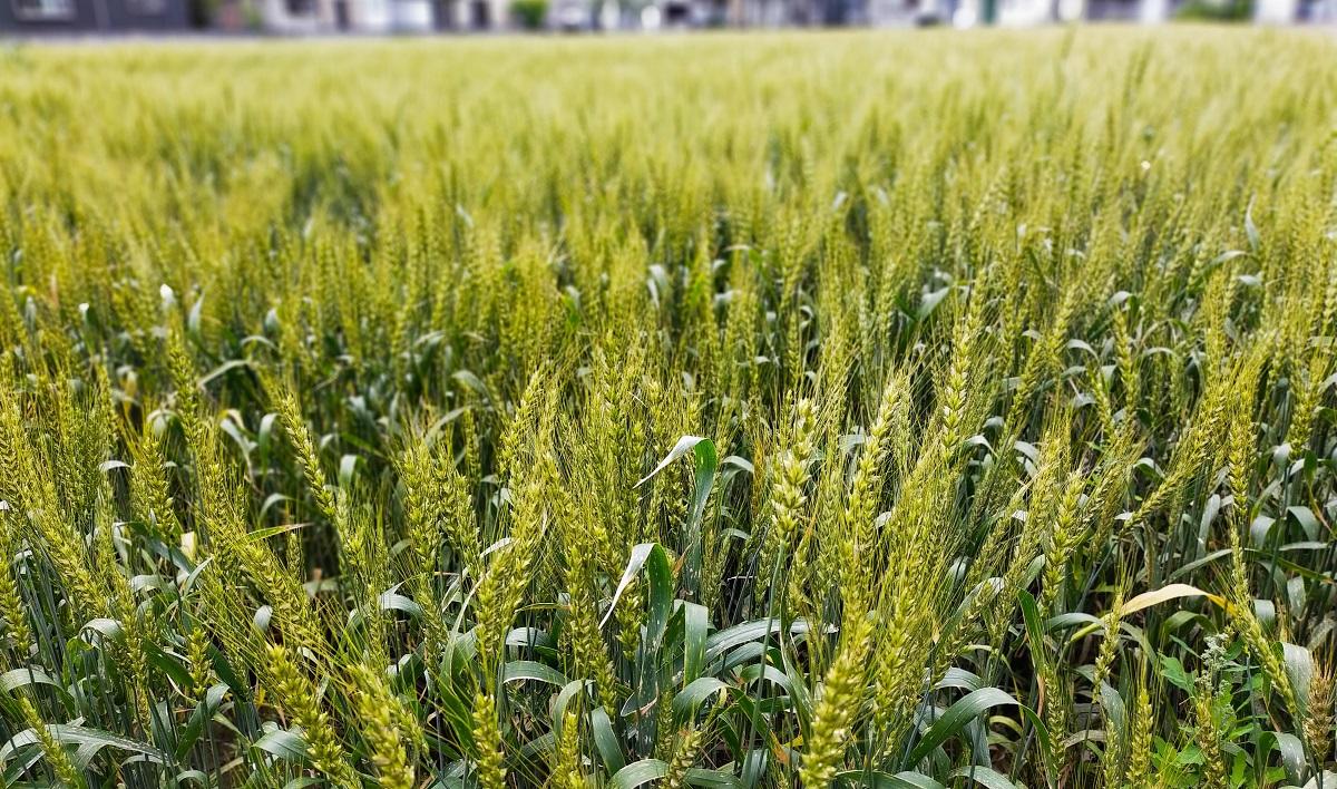 緑色に輝く麦畑