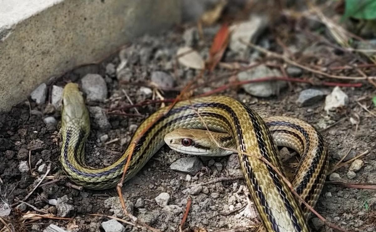 2匹のシマヘビの赤い目
