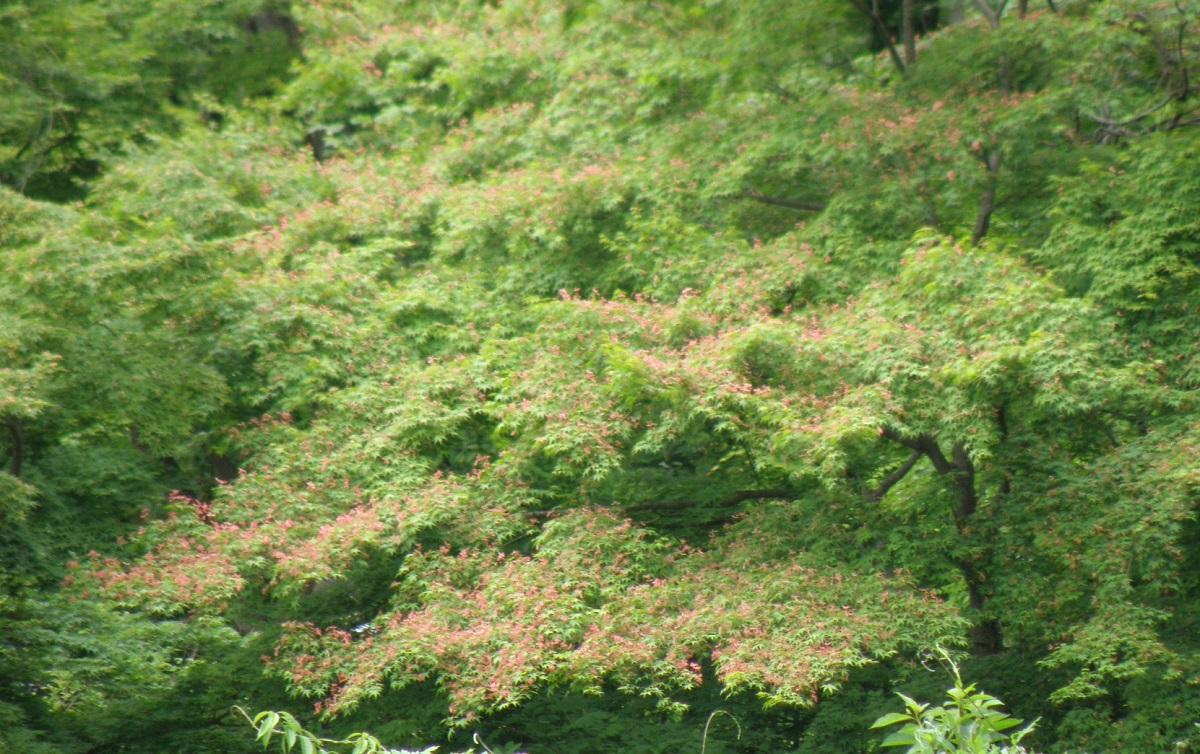 花のような赤い翼果