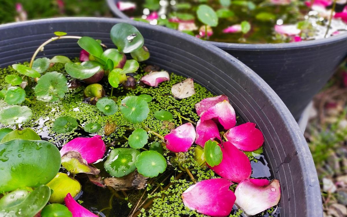 睡蓮鉢に浮かぶバラの花びら