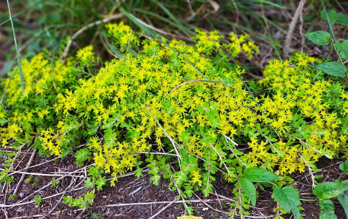 万年草の黄色い花