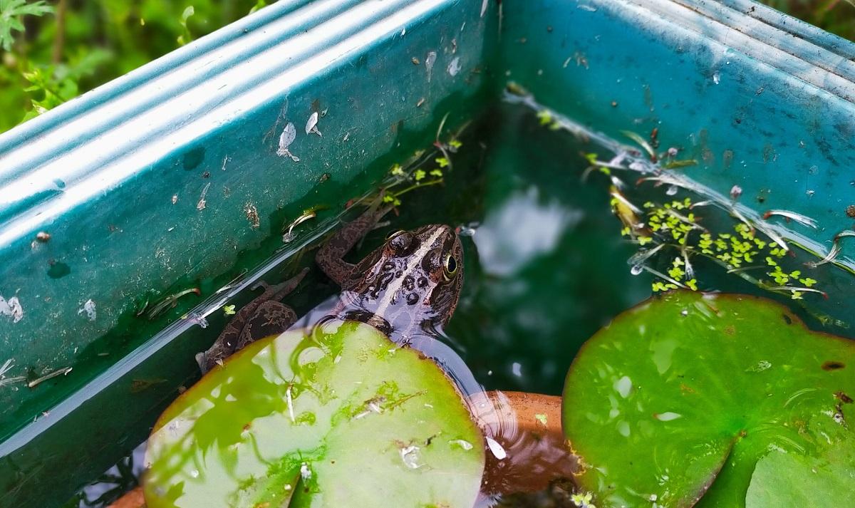 睡蓮の葉の横にトウキョウダルマガエル