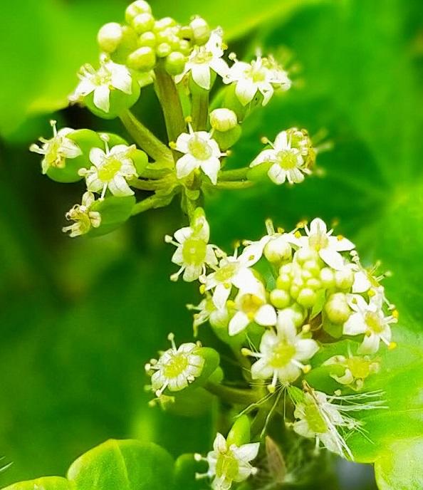 ウォーターマッシュルームの花