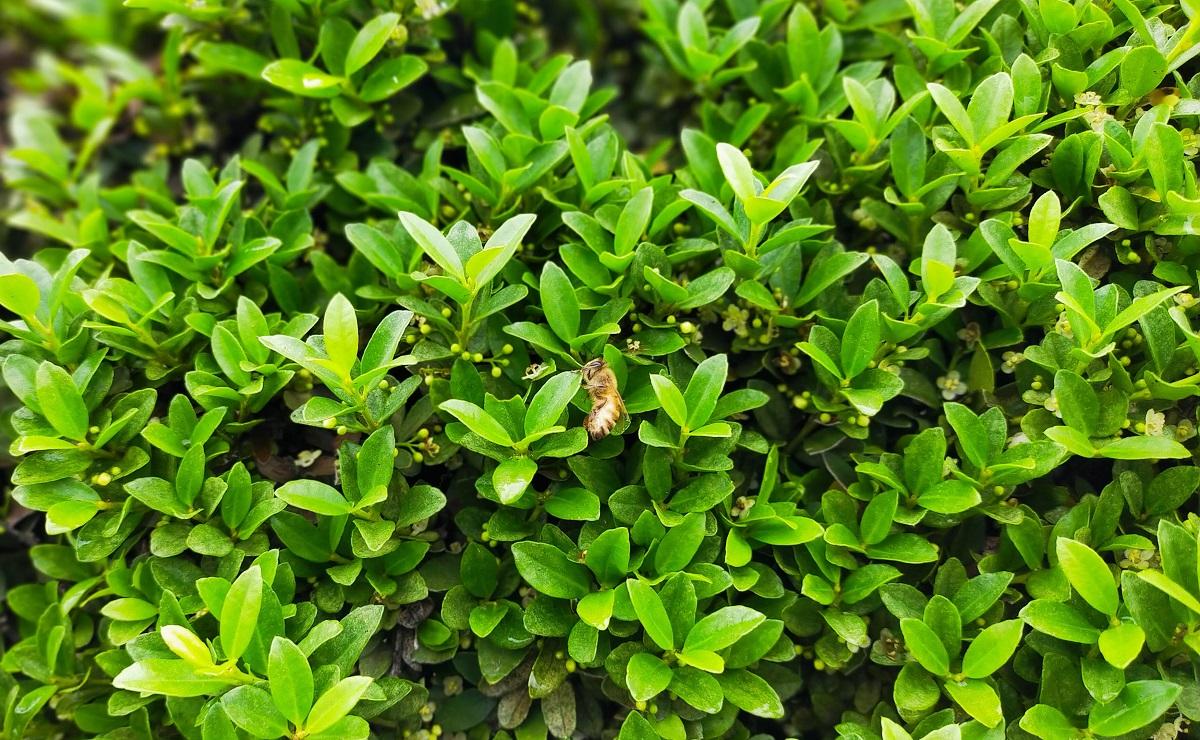 イヌツゲに集まるミツバチ
