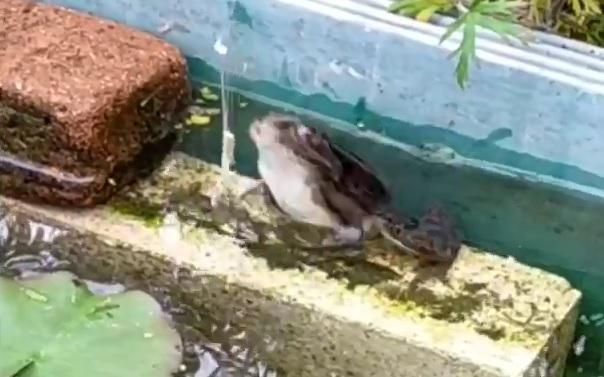 餌に跳びつくトウキョウダルマガエル