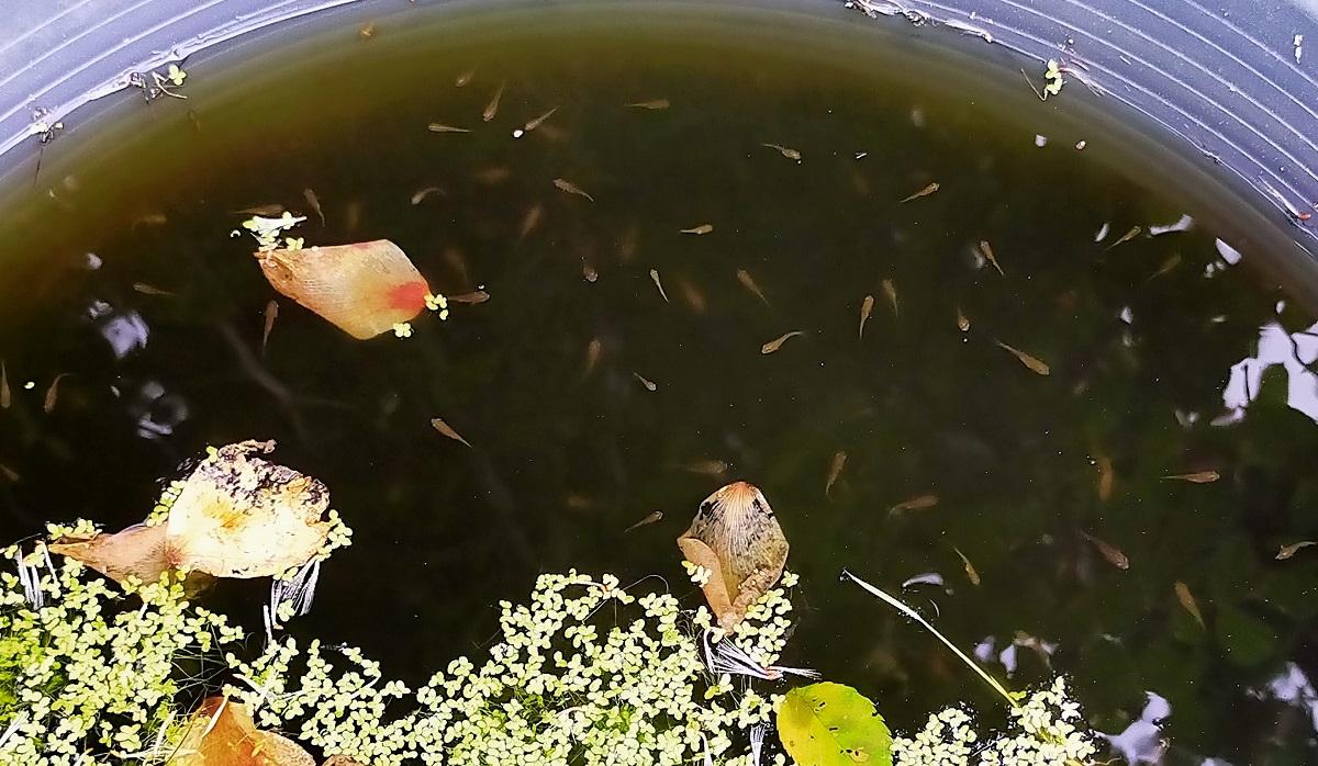 1cmくらいまで成長した金魚の稚魚