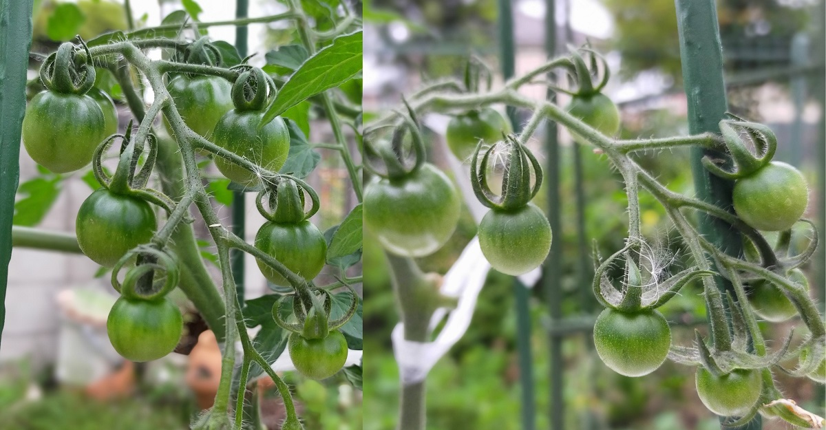 実ができはじめたトマト
