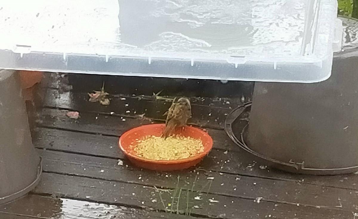 雨宿りする子スズメちゃん