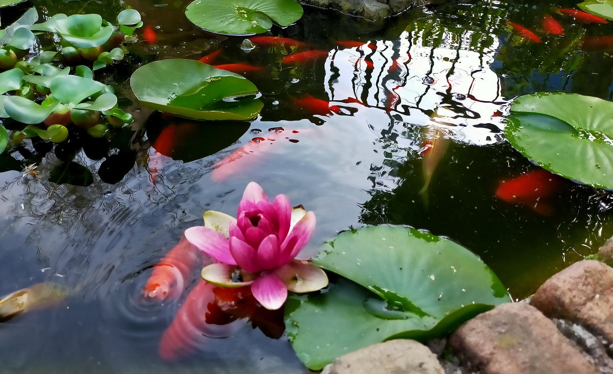 池に睡蓮と金魚