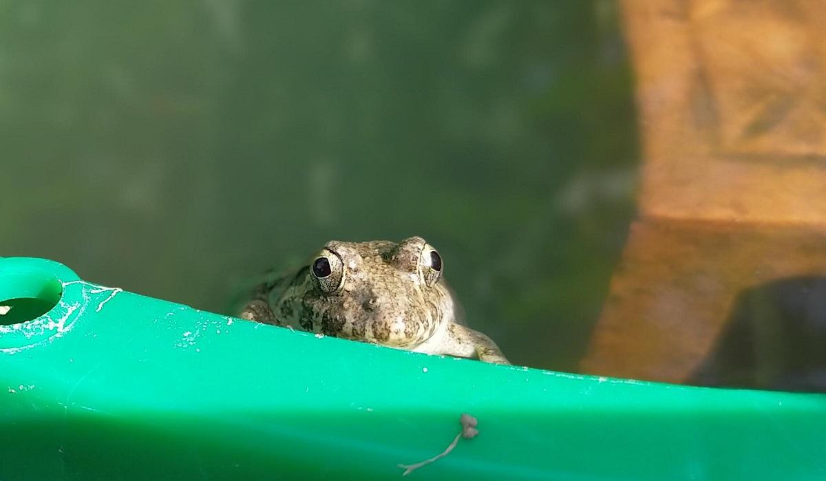 おとぼけ顔のヌマガエル