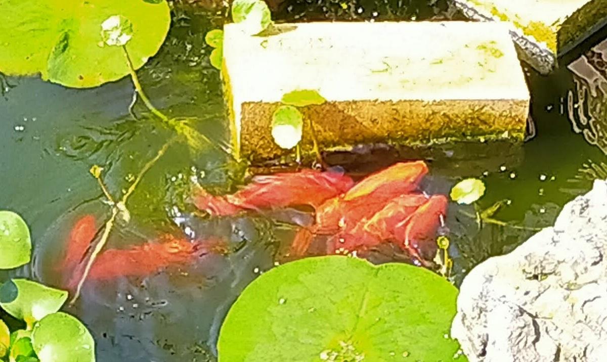 池の金魚の産卵