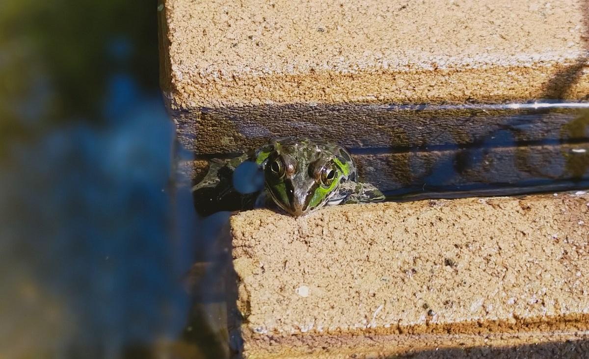 ブロックの隙間に入るトウキョウダルマガエル
