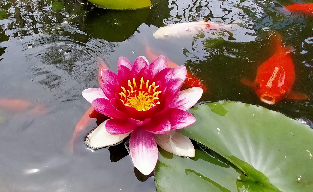 睡蓮の花と金魚
