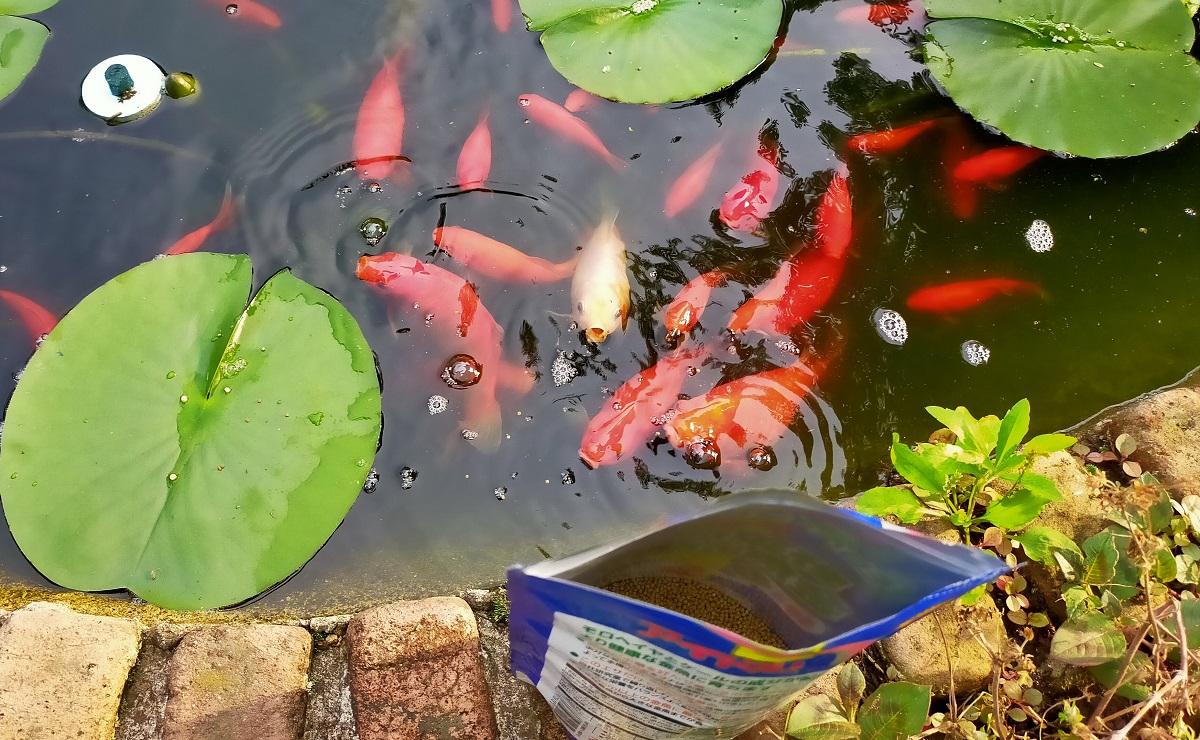 餌を欲しくて集まる池の金魚達