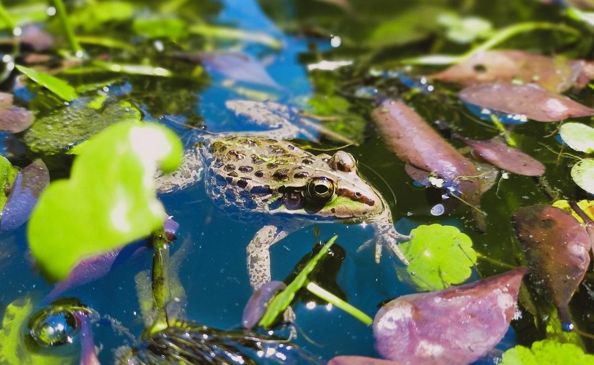 池に浮かぶトウキョウダルマガエル