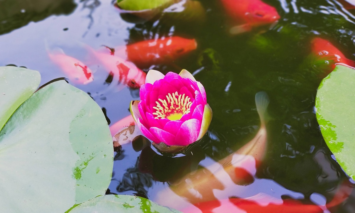 池にピンクの睡蓮の花