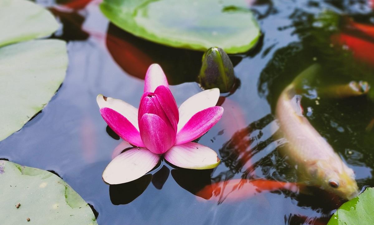 午後に閉じかけた睡蓮の花