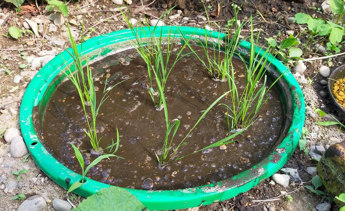 田植えが終わったバケツ稲作りの田んぼ