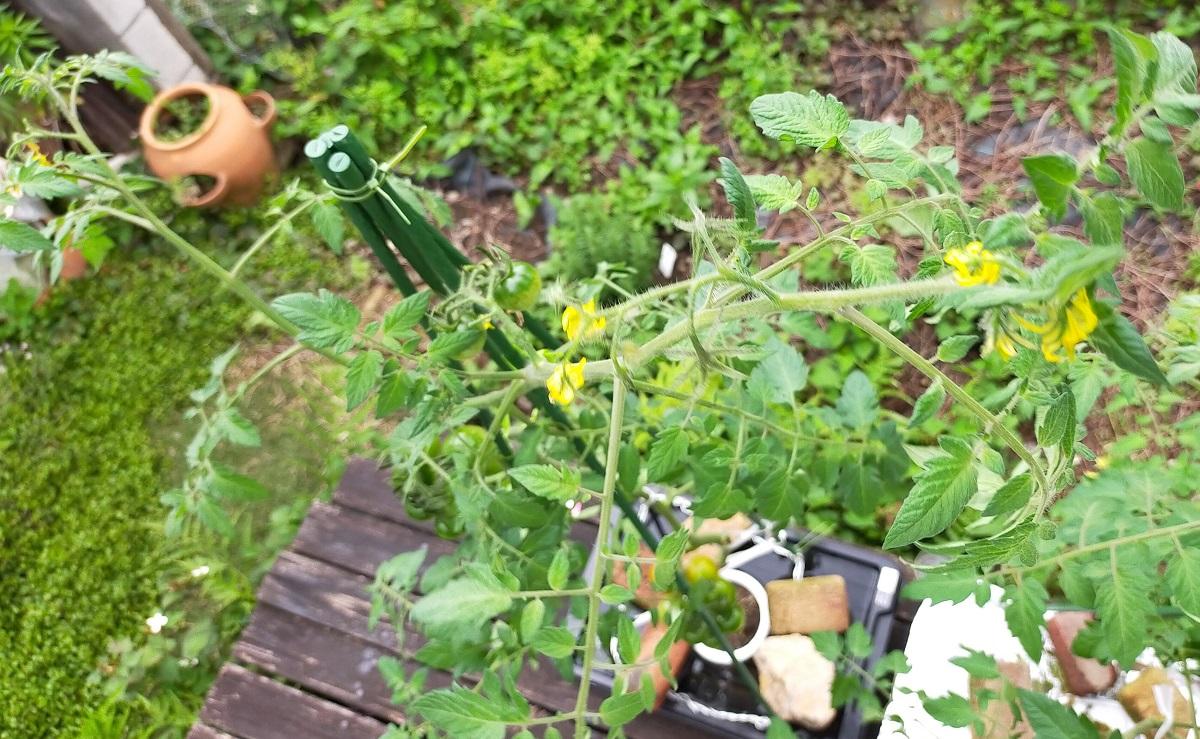 支柱の高さよりも高く伸びてしまった水耕栽培トマト