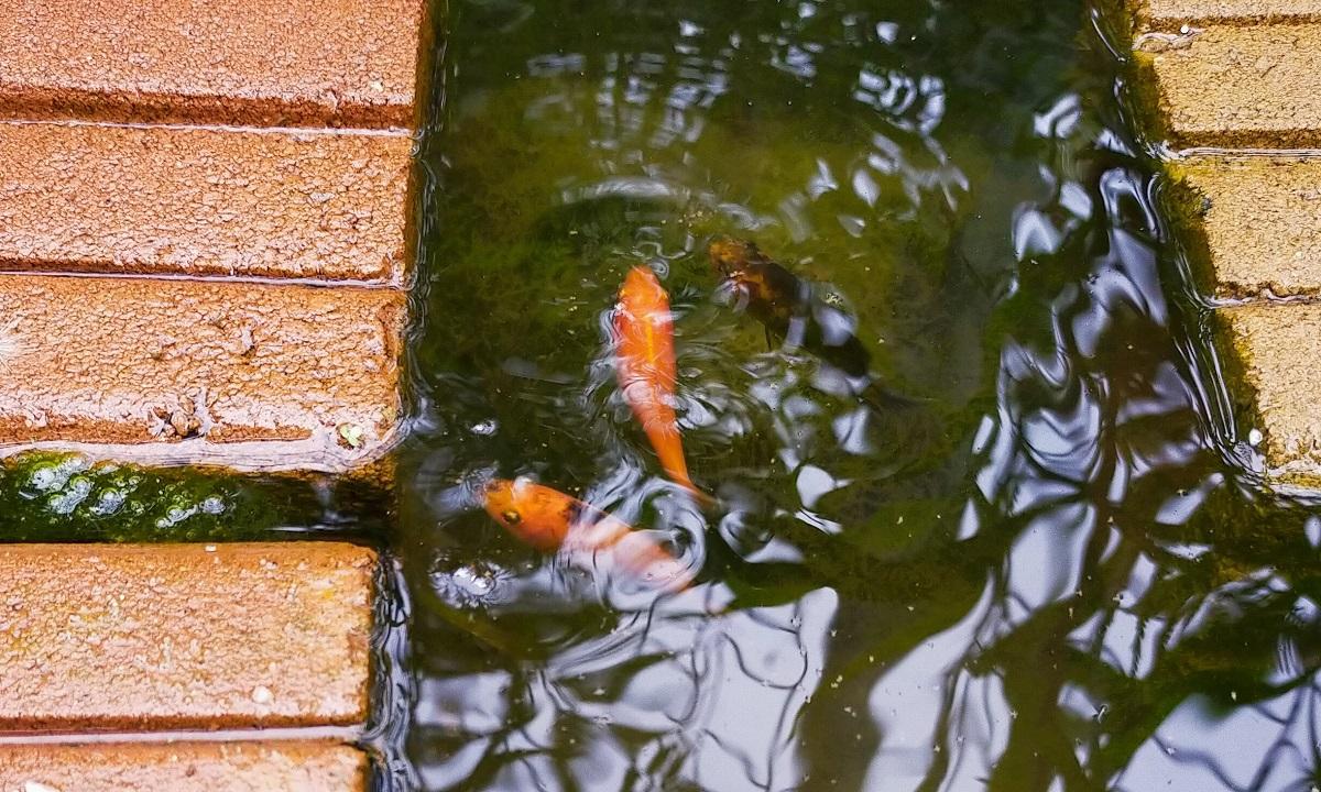 金魚3匹。赤、赤黒、黒ブチ。
