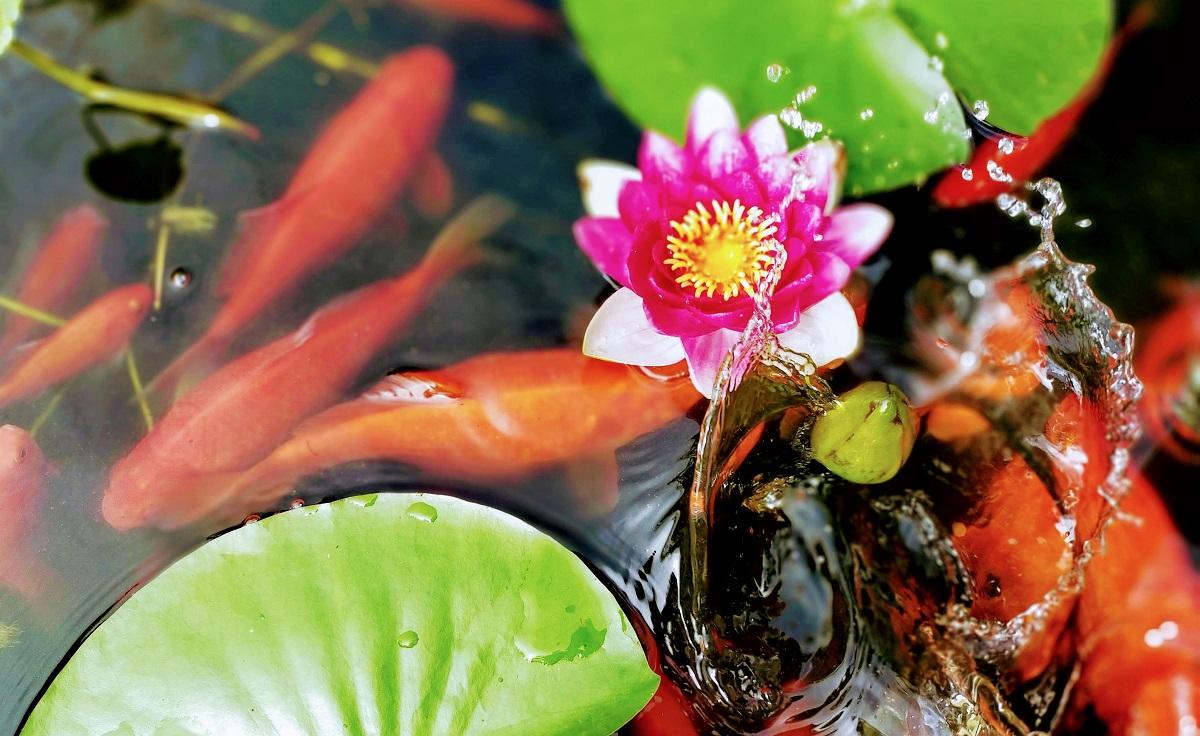 睡蓮と金魚と水しぶき