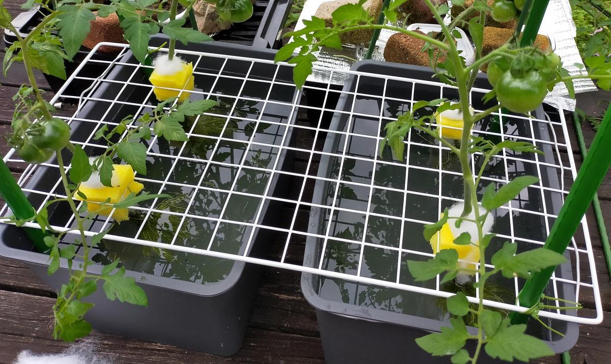 トマトの水耕栽培