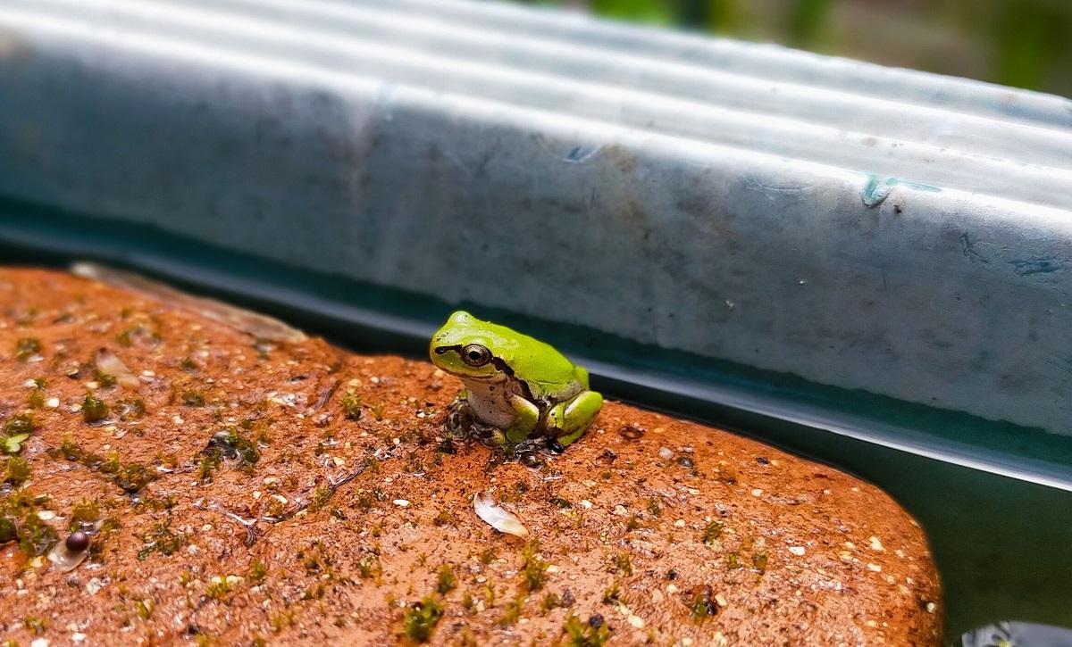 小さいアマガエル