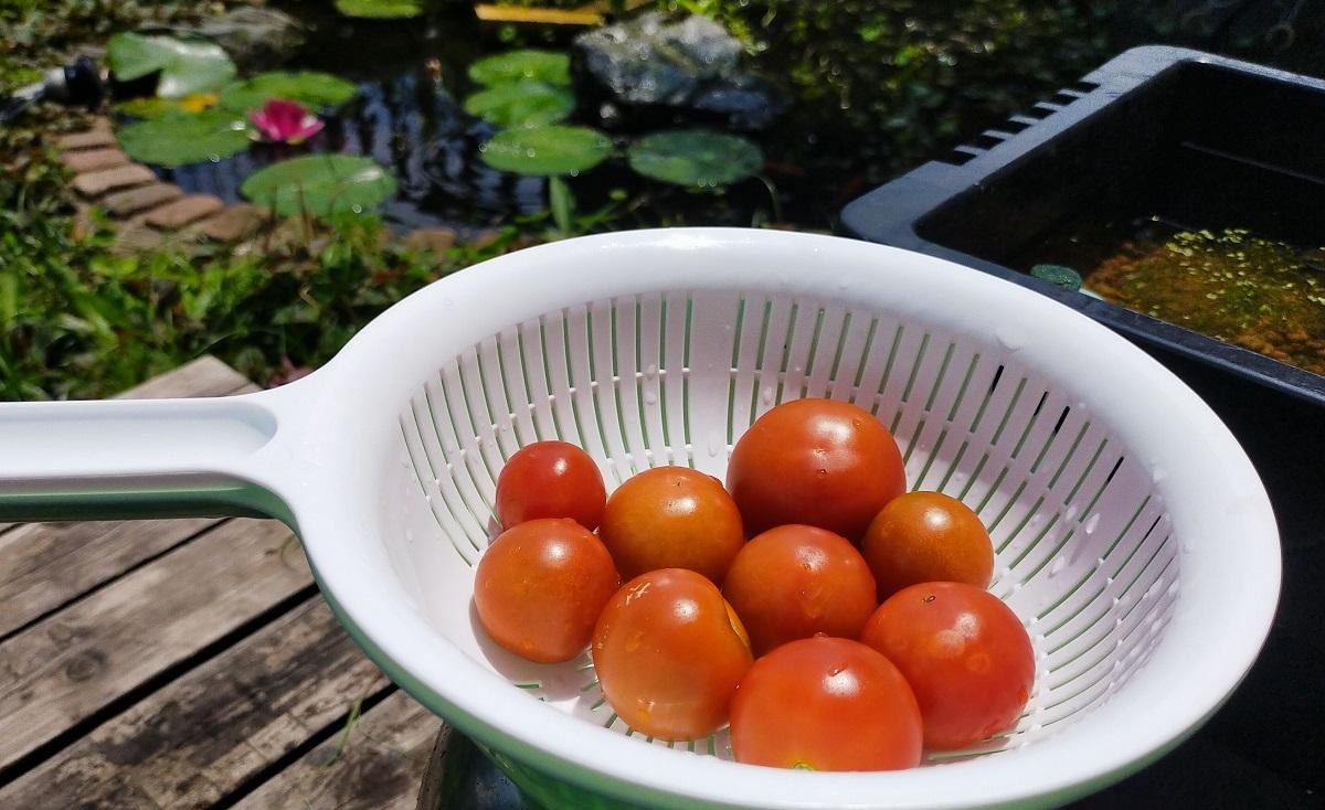 収穫された中型トマト「フルティカ」