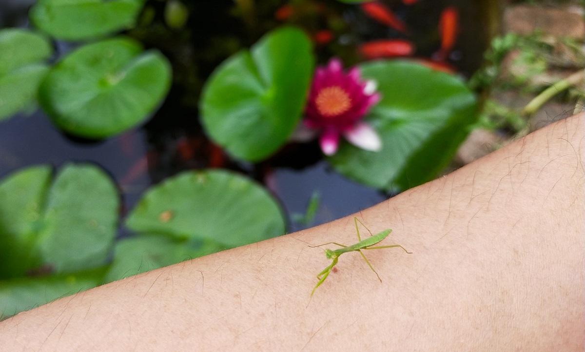 腕のとまった小さいカマキリ