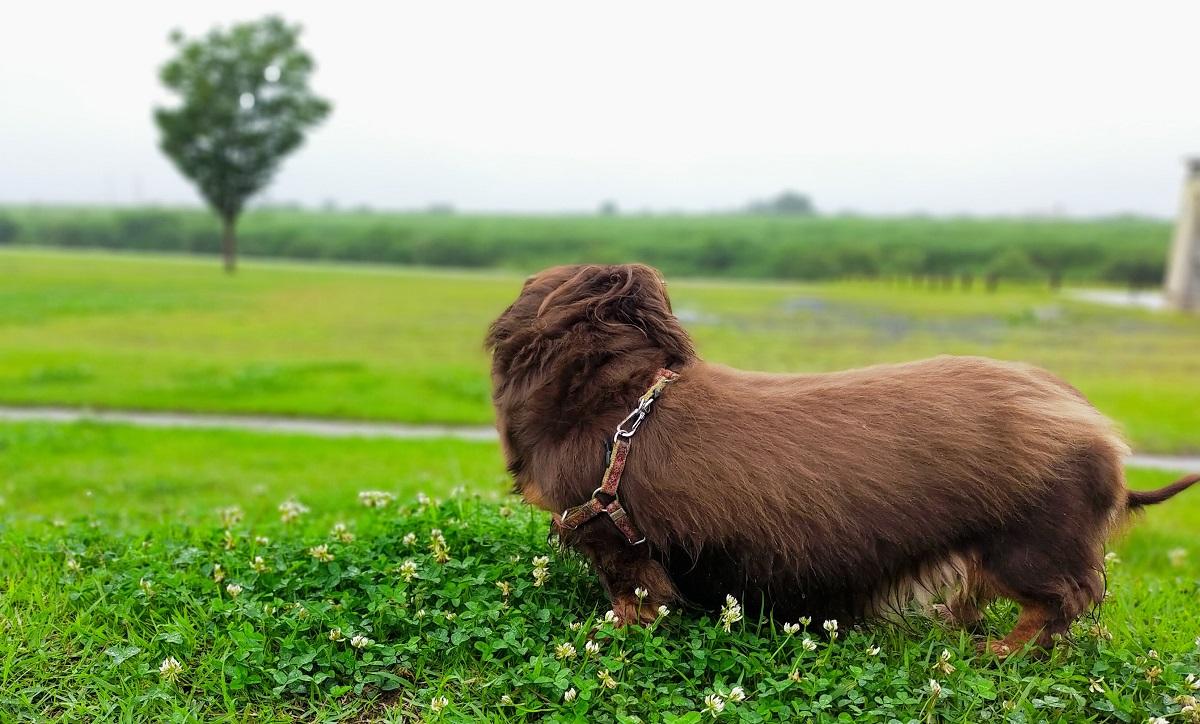 雨の芝生の上のミニチュアダックス
