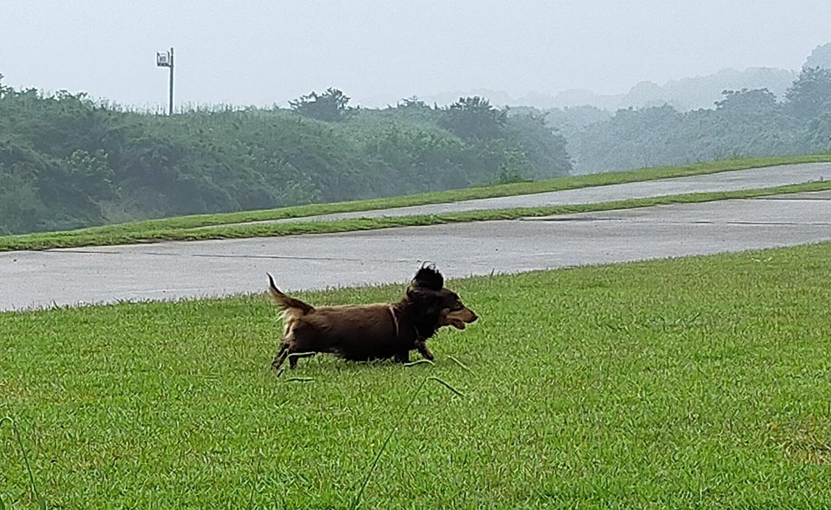 濡れた芝生を走るミニチュアダックス