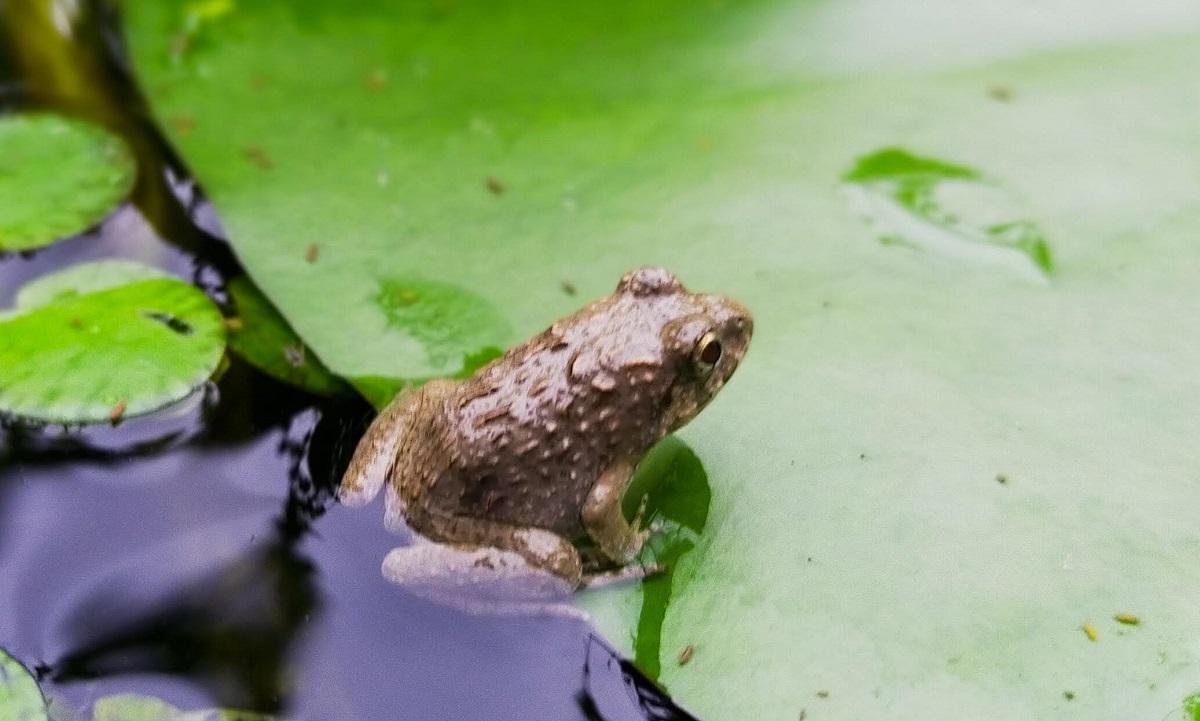 池の睡蓮の葉に乗る小さなヌマガエル