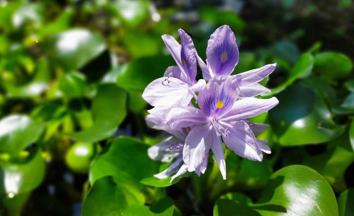 淡い紫色のホテイアオイの花