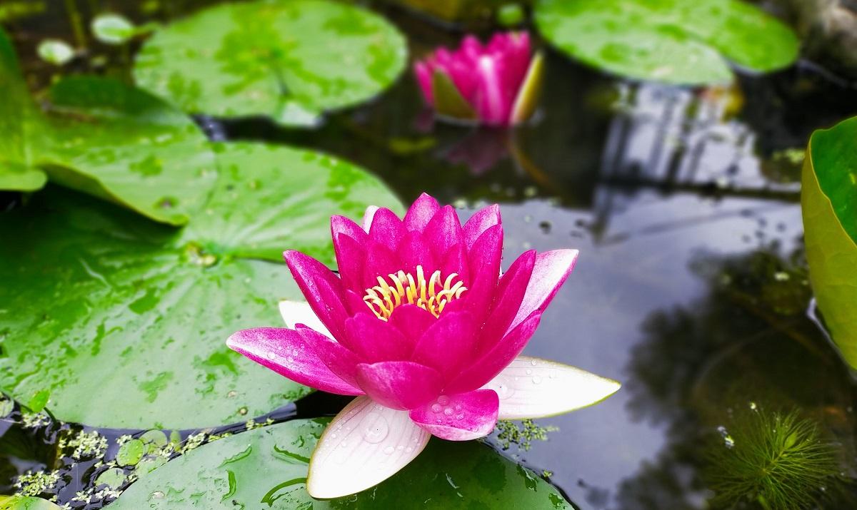 池の睡蓮。開いた花と萎み始めた花。