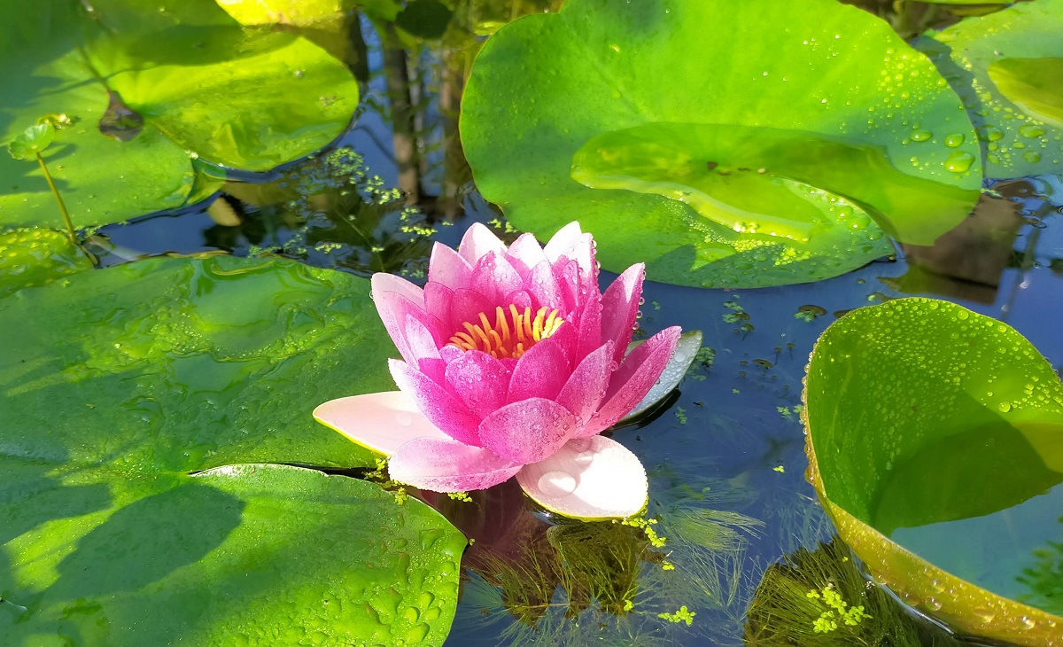 淡いピンク色の池の睡蓮