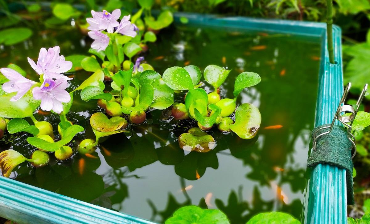 ホテイアオイの花とチビ金魚