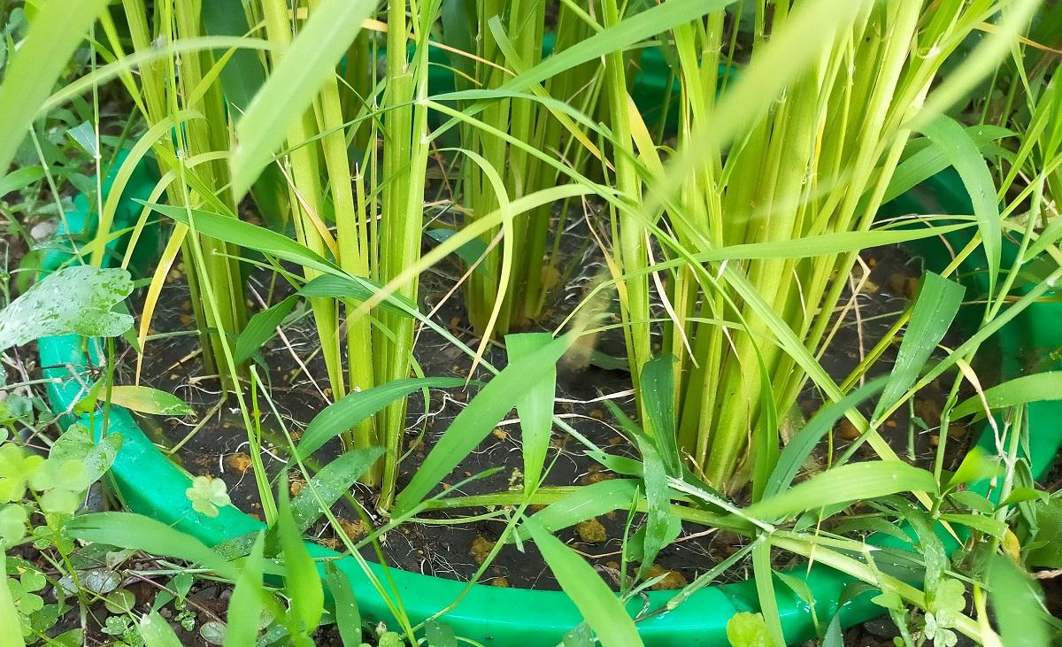 バケツ稲作り