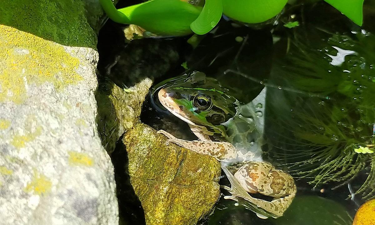 ホテイアオイの葉の影で涼むトウキョウダルマガエル