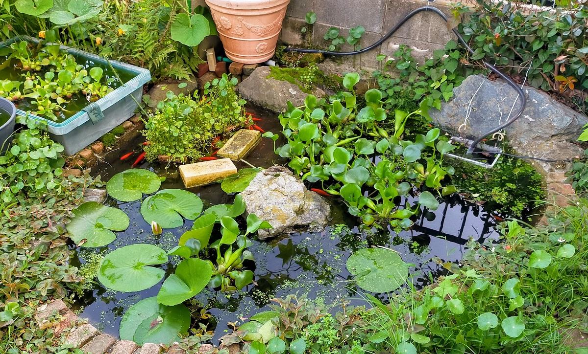 夏の自作池