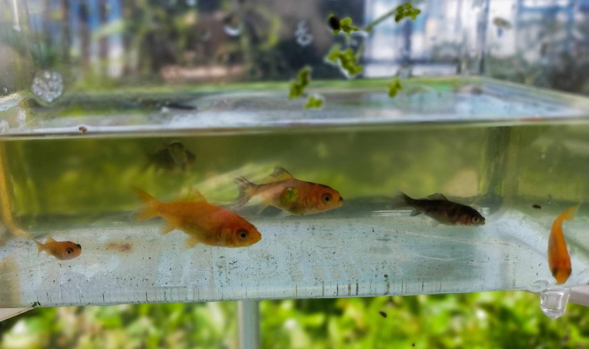 まだ色が出きっていない金魚の若魚達