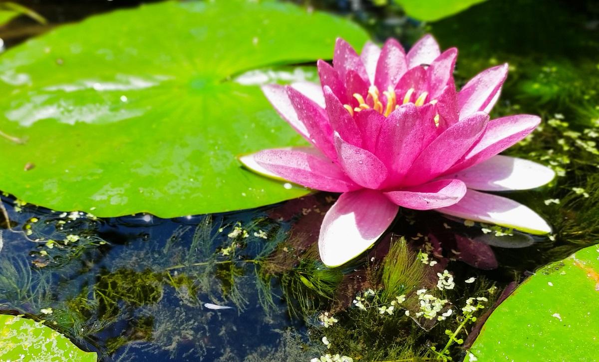 白メダカと睡蓮の花