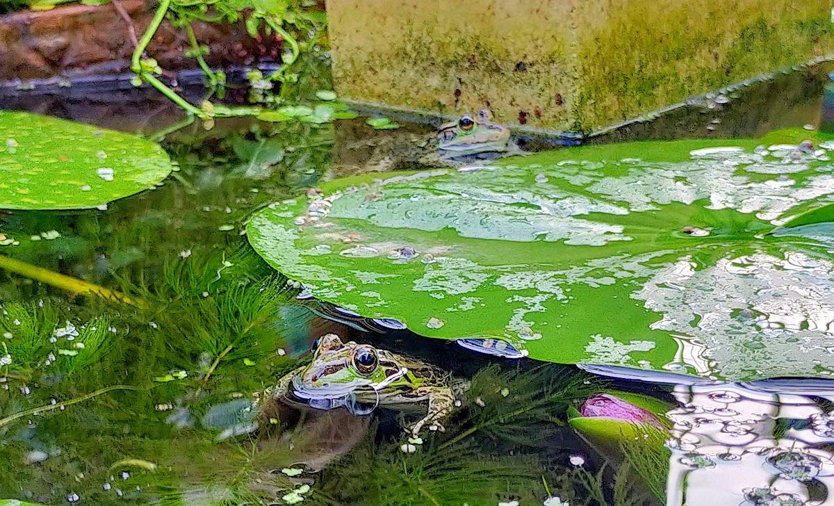 池に浮かぶ2匹のトウキョウダルマガエル