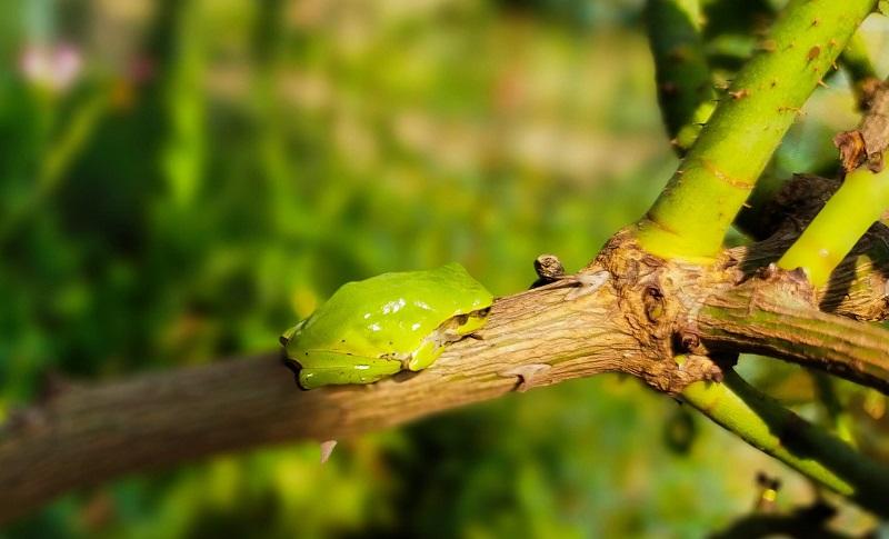 バラの木にたたずむアマガエル